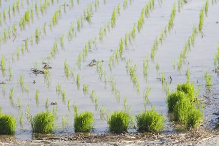 paddy rice farm. photo