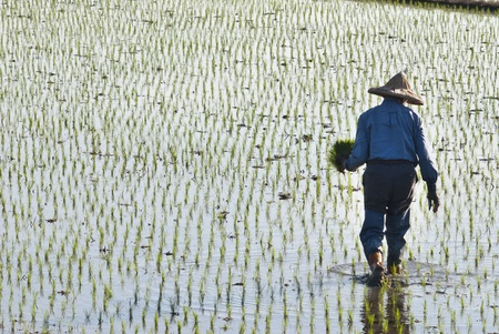 Asian peasantry planting paddy rice on farmland. Stock Photo