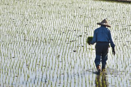 Asiatischen Bauern pflanzen Rohreis auf landwirtschaftlich genutzten Fl�chen.