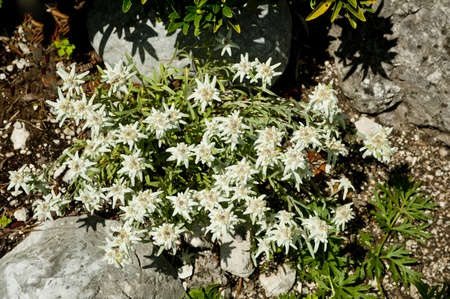 Edelweiss flower in Europe. photo
