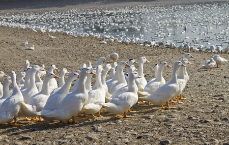 Snow goose walk in the lake,poultry. Stock Photo