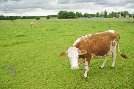 Cow  Grazing on Pasture in Southern Bavaria, Germany photo