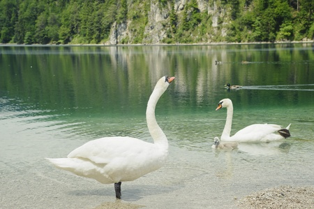 Swan family with beautiful lake scenery in neuschwanstein,germany Stock Photo - 12411973