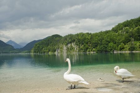 white swan  couples on the lake photo