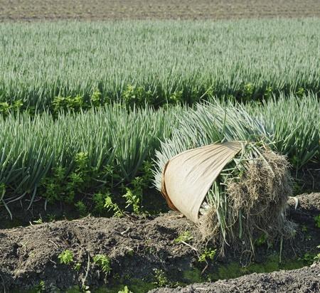 green onion field on beautiful vegetable farm  Stock Photo