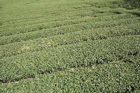 panoramic view of green tea plantation with beautiful mountain scenery  photo