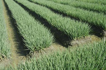 녹색 양파 농지에서 야채 필드의 풍경 스톡 콘텐츠