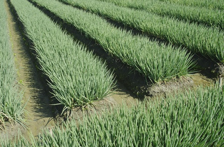 landscape of vegetable field in green onion farmland  Stock Photo