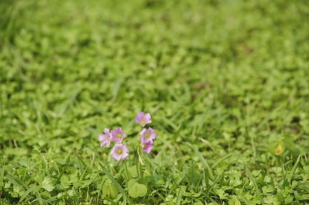 Spring Shamrock flower bloom on the meadow background photo