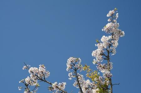 white japan sakura flower blossom  under blue sky in asia photo