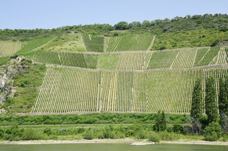 rudesheim: vineyard in rhine valley,germany,europe