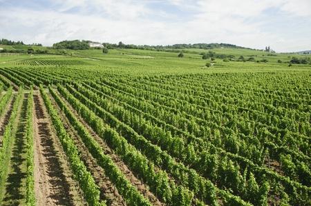 rudesheim: vineyard in rhine valley,germany,europe  riesling grape  Stock Photo