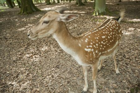 wild animal of fallow deer in Black Forest, Germany,europe Stock Photo - 13106314