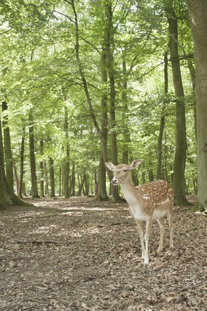 black tail deer: wilderness animal of fallow deer in Black Forest, Germany,europe Stock Photo