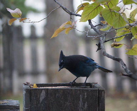 plummage: Stellars Jay, perched on a weathered wood fence post is framed by Lilac branches.