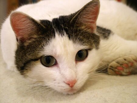 A white cat with tabby patches, seagreen eyes and a pink nose faces us as she reclines.
