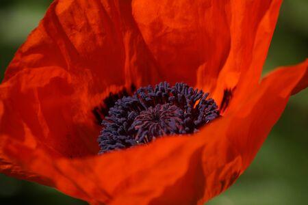 oriental poppy: Open red poppy flower with purple seeds in the center.