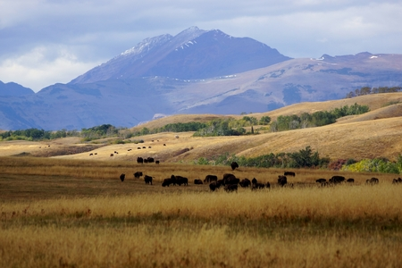 Buffalo herd grazing on the Rocky Mountain Front grasslands in Montana, USA