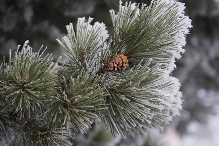 pine needles: A close-up of a branch of frost coated long  pine needles with a single pinecone in the center.