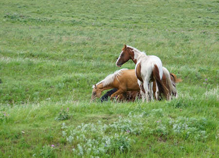 A small herd of horses comes together in a lush pasture.. A Bay is partially hidden as it wanders down a gully. A Palomino finds a snack. Overlooking the others stands a beautiful Paint.