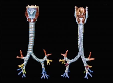 bronchiolar: colored model of tracheobronchial tree front view and back view isolated on black Stock Photo
