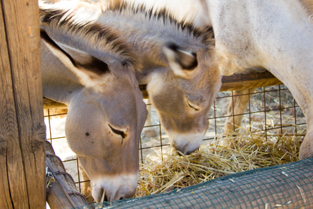 Donkeys seen up close while they eat photo
