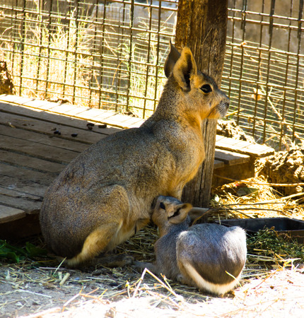 Hare who feeds his puppy photo