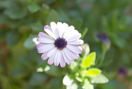african daisy: African daisy close up view with blurred background
