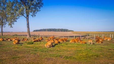 red heifer: El pastoreo de reba�os de vacas rojas en el prado en un d�a soleado