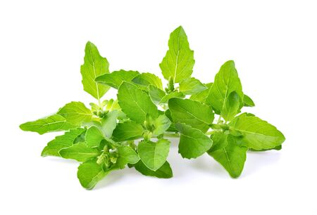 Holy Basil,Ocimum sanctum isolate on white background. full depth of field