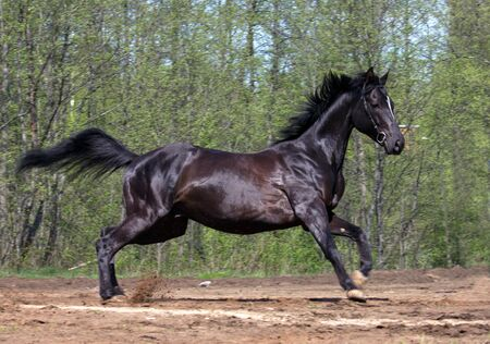 running horse: Side view of black horse galloping in countryside with trees in background Stock Photo