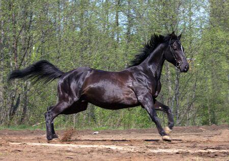 caballos negros: Vista lateral del caballo negro galopando en el campo con �rboles en el fondo