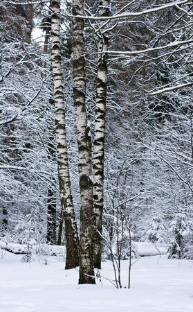 winter forest after a heavy snowfall photo