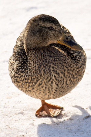 ice dam: Duck standing on one paw Stock Photo