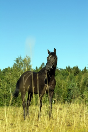 full height: Black Horse smortrit interested gaze, stand at full height