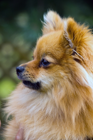 portrait of a dog in the profile, breed Pomeranian photo