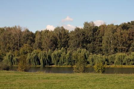 weeping willow: Weeping willows hanging by a pond on the background of autumn deciduous forest in the park Pokrovskoe-Streshnevo