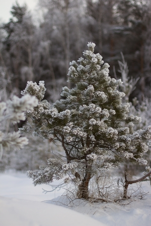 Dwarf mountain pines with fluffy twigs covered with hoarfrost photo