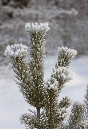 Furry pine branches covered with frost photo