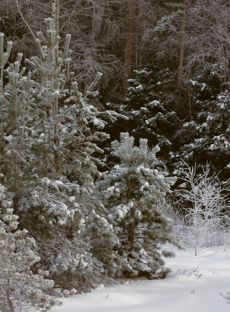Beautiful young pine trees in winter forest photo