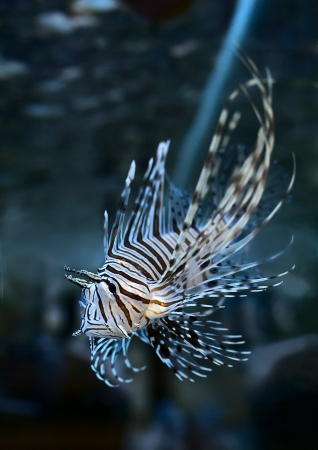 pterois volitans: Marine aquarium fish Pterois volitans Stock Photo