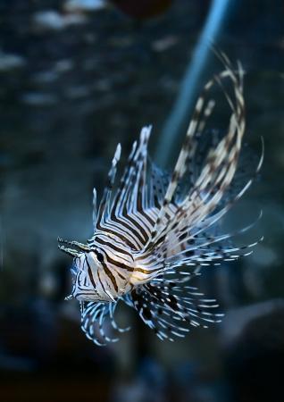 Marine aquarium fish Pterois volitans Stock Photo - 18118070