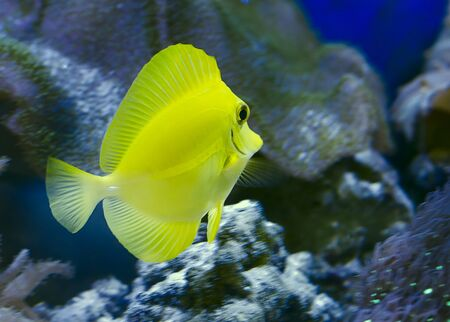 Zebrasoma flavescens also known as Yellow sailfin tang  a kind of funny kind of fish Zebrasoma, Acanthuridae family Stock Photo - 18156938