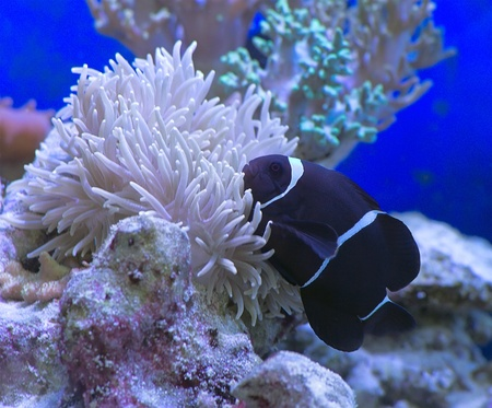 Moorish clown Premnas biaculeatus defiantly bright clown fish is the only one of its kind with the lateral spines specific name biaculeatus Stock Photo - 18156939