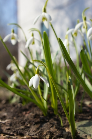 snowdrops first white spring flowers photo