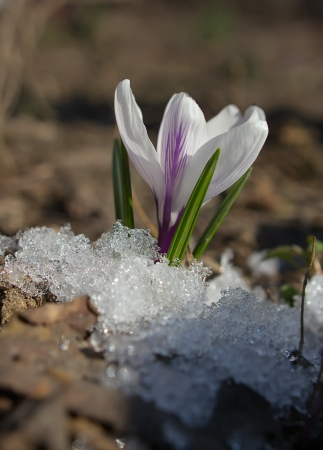 Motley crocus on soft background with snow in the foreground photo