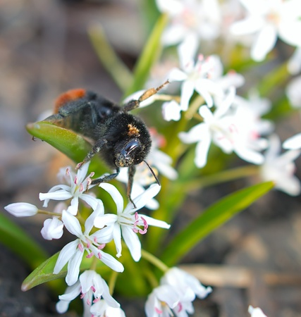 Bumblebee collects nectar on the first spring flowers photo