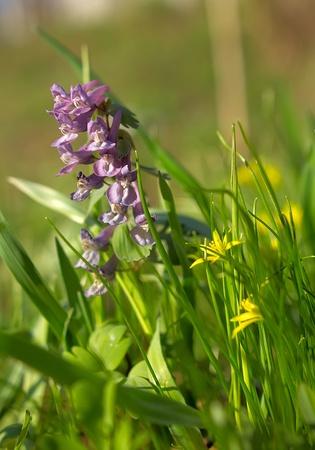 corydalis: Flowers Hollatka Haller  Corydalis solida  and goose onions  Gagea chomutovae
