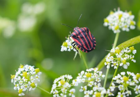 Graphosoma lineatum, grafozoma striped on white flowering inflorescences, Graphosoma lineatum photo