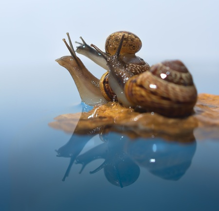 grape snail: Three snails on a rock with reflection in water